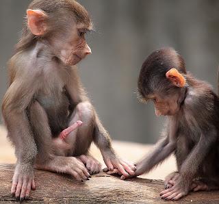 maymunların arkadaşlığı