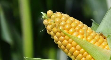 jagung sayuran bikin gendut