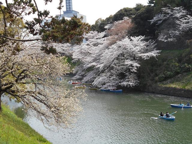 千鳥が淵の桜4