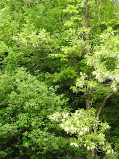 Black locust trees in full bloom along the Erie Canal near Newark, early June 2018