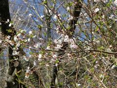 長谷寺の十月桜