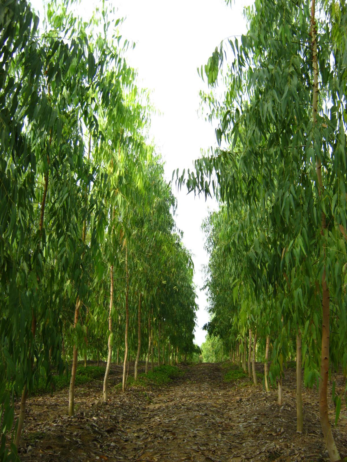 Nutrici n forestal manejo intensivo en cultivos for Manejo de viveros forestales