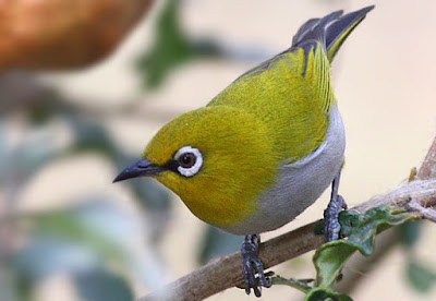 Harga Burung Pleci Area Ngawi (Jual/Beli)
