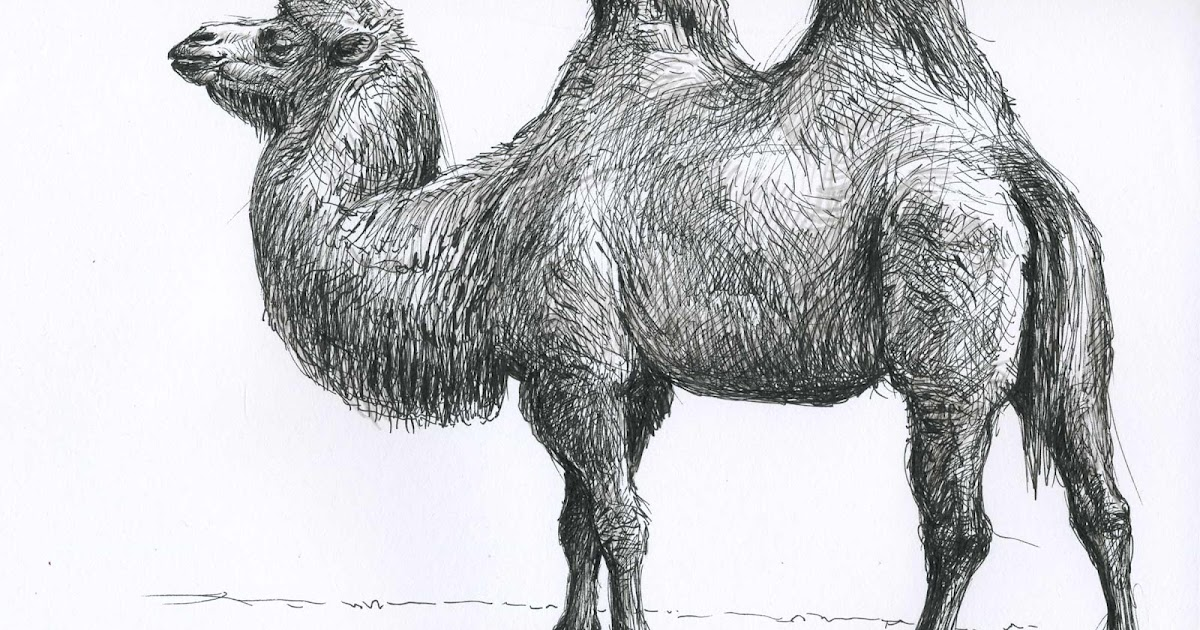 верблюд картинка рисовать потребность