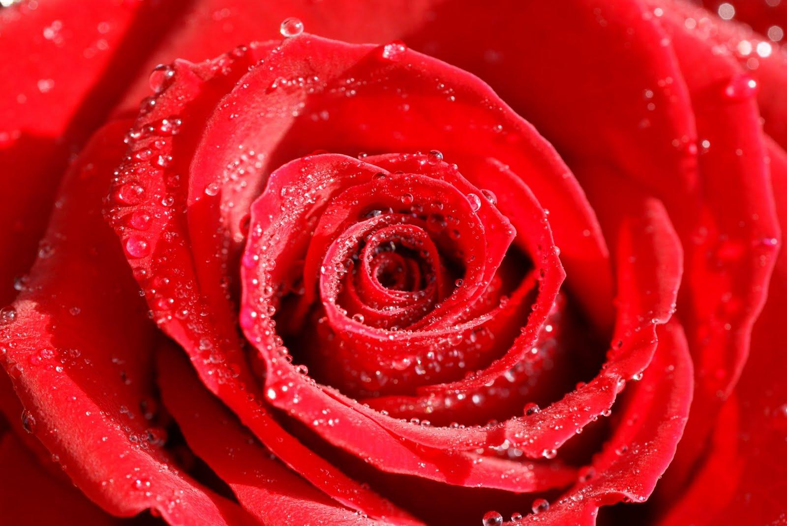 De tudo e mais um pouco rosas vermelhas postado - Rose flower images full size hd ...