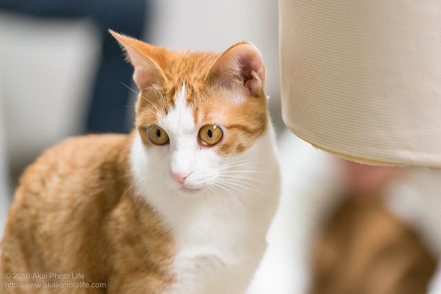 猫カフェ 西国分寺シェルターにいた可愛い茶白の猫の写真