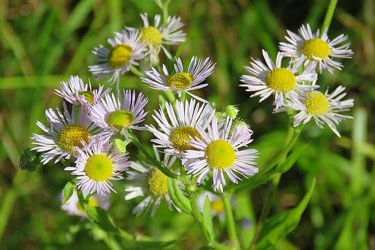 Przymiotno białe (Erigeron annuus).