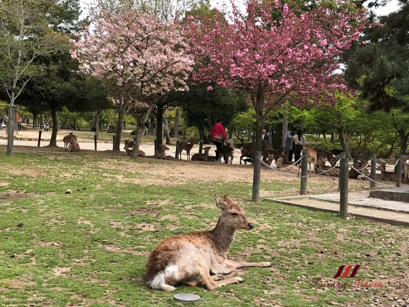 sakura festival osaka nara in spring deer feeding