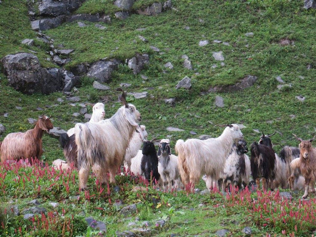 Goats, trek, hampta pass