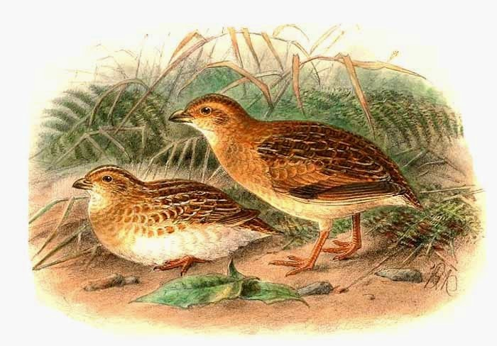 Little Buttonquail