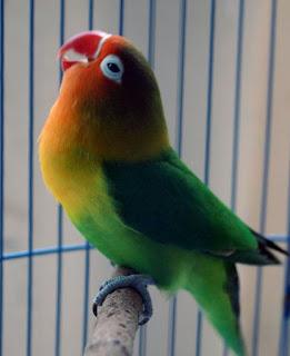 baik untuk insan ataupun hewan peliharaan menyerupai burung lovebird Manfaat Daun Mengkudu/ Pace Untuk Lovebird: Meningkatkan Volume Suara Menjadi Lebih Keras Dan Jernih
