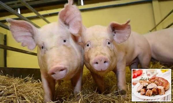 Cerdos Genéticamente Modificados ( Ya Los Estamos Comiendo )