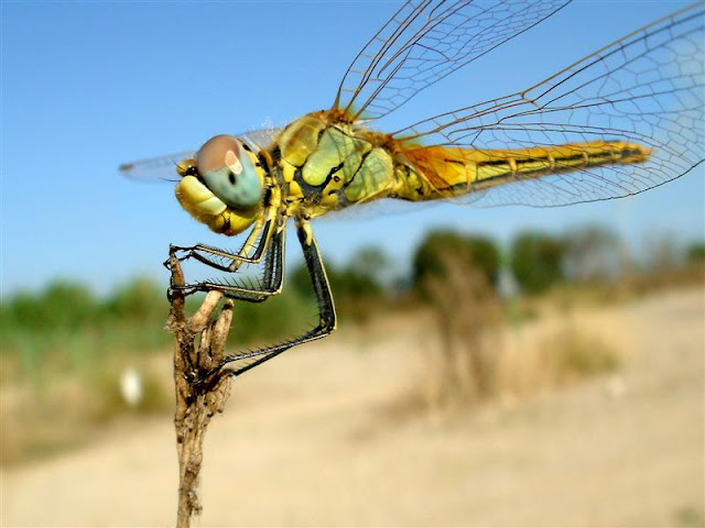 Curiosidades de las libelulas