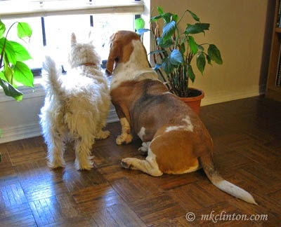 Westie and Basset on window duty