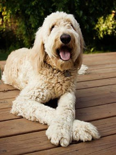 Everything about your  Goldendoodle