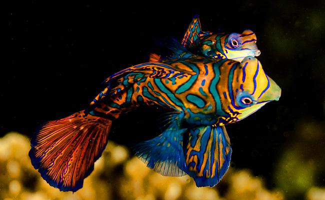 Ikan mandarin
