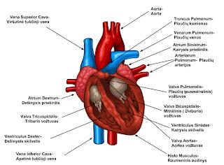 Reumatas ir Postreptokokinis Reaktyvusis Artritas