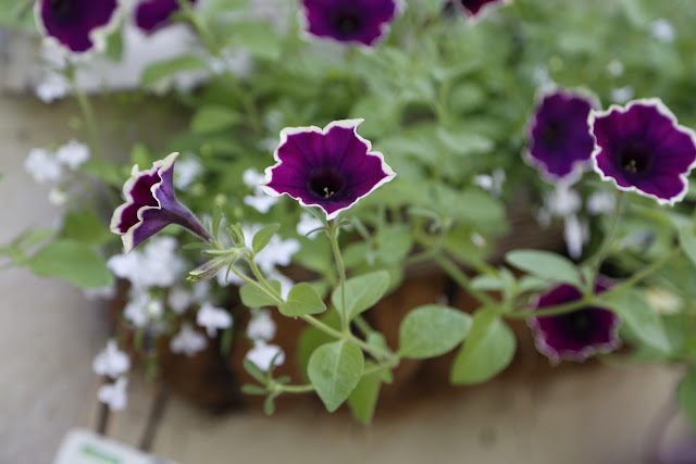 Ivory and Purple Petunia Trailing Variety with White Lobelia in Window Box