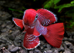 Ikan Hias Air Tawar Terindah killfish merah