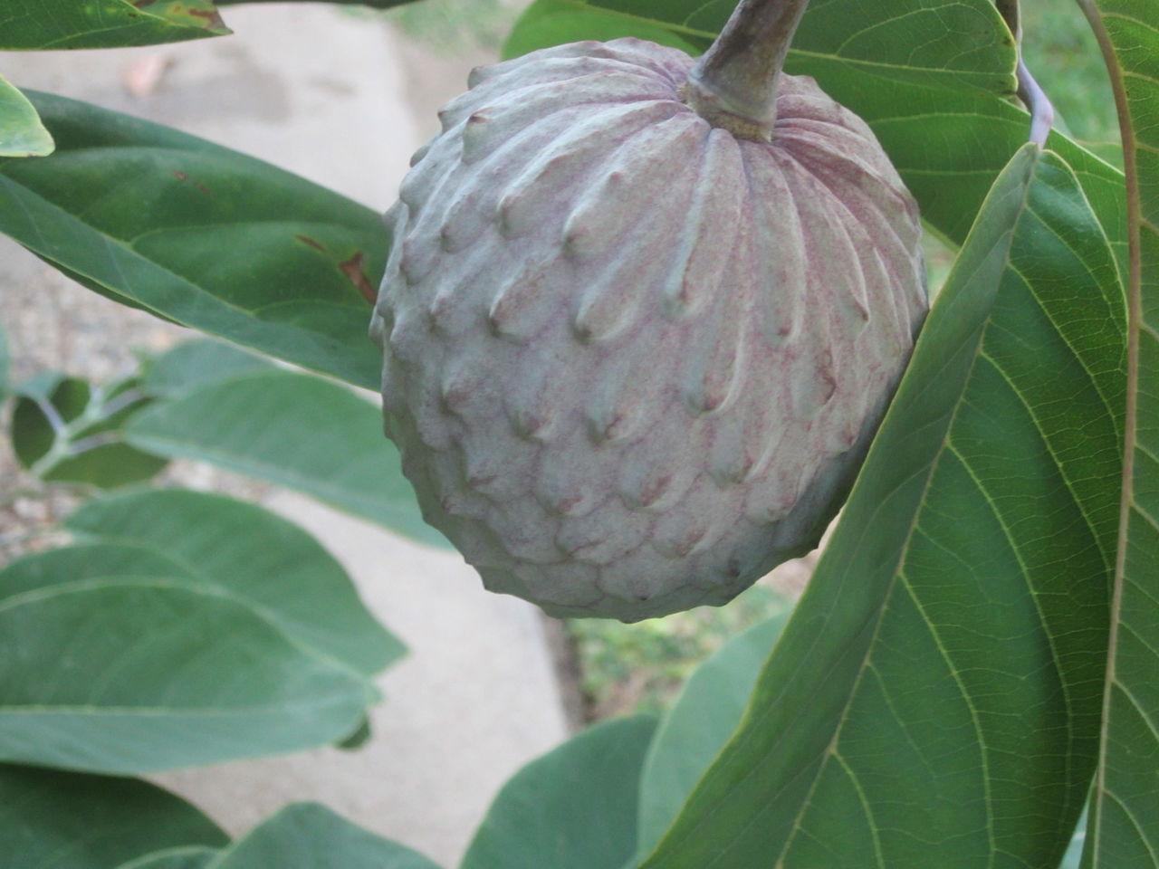 İLİMA MEYVESİ (Annona diversifolia)   TROPİKAL MEYVELER