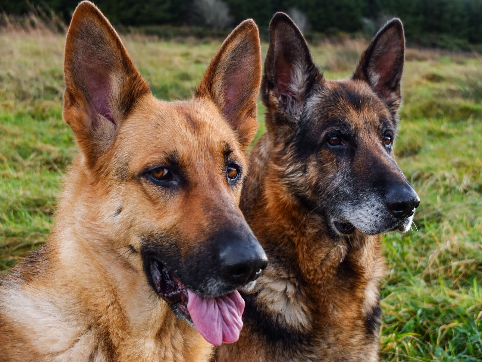 A pair of German Shepherds sitting on a mountain side at sunset.