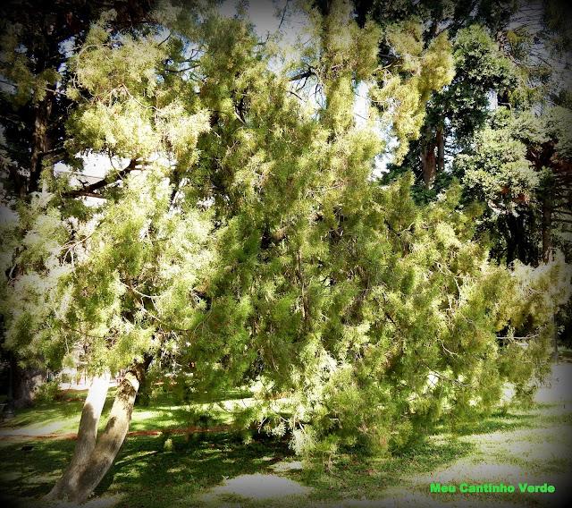 Sictus tree