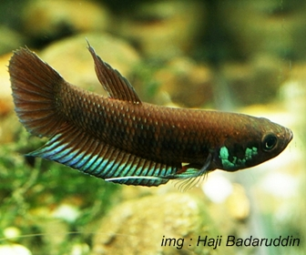 Jenis Ikan Cupang liar Spesies Betta Krataios