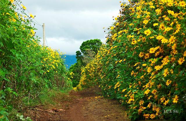 Hoa dã quỳ thường mọc ở các khu vực ngoại thành Đà Lạt.