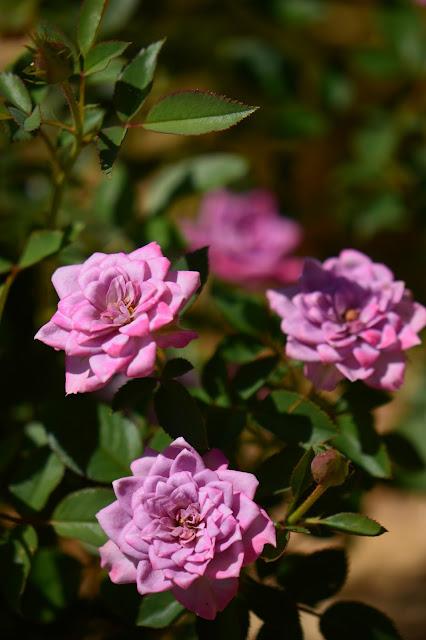 small sunny garden, desert garden, miniature roses, amy myers, photography, kordes