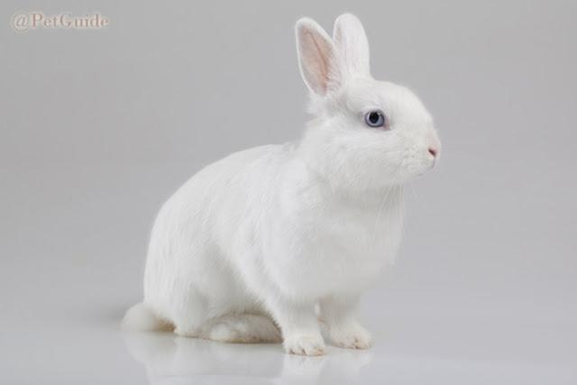 KELINCI (Rabbit) || Jenis Ras