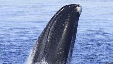 150115152011 ballena 624x351 reuters - El misterio del canto cambiante de las ballenas boreales