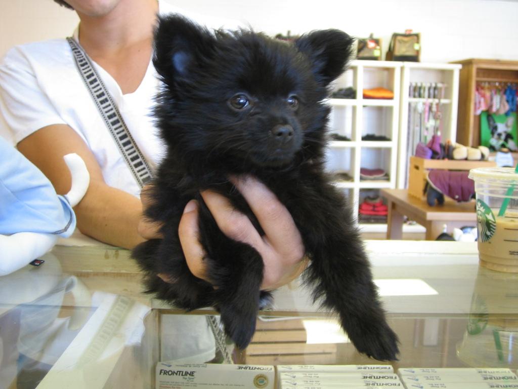 black teddy bear pomeranian - photo #26