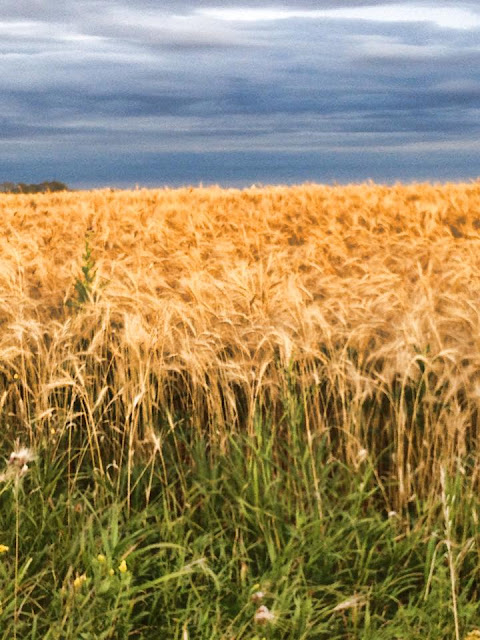 Manitoba golden crop