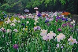 平川動物公園花しょうぶ園花しょうぶまつり
