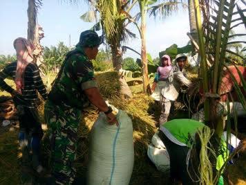 Di Desa Brohol, Anggota Babinsa Koramil 02 Air Putih Dampingi Petani Panen Padi