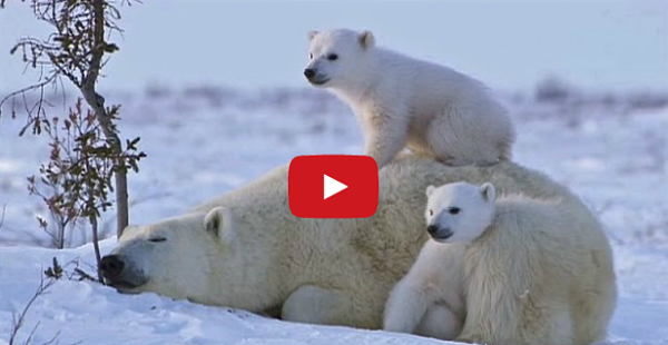 Cutest Polar Bear Family You Will Ever See Snow