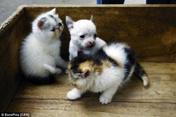 Kỳ bí chuyện mèo đẻ ra sinh vật giống chó Chihuahua