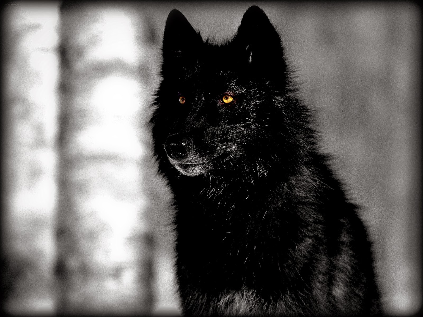 Hd Wolf Backgrounds: White Wolf : Stunning Photographs Showcase The Beauty Of