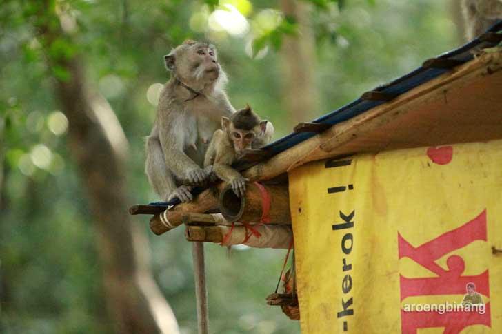 bayi monyet plangon cirebon