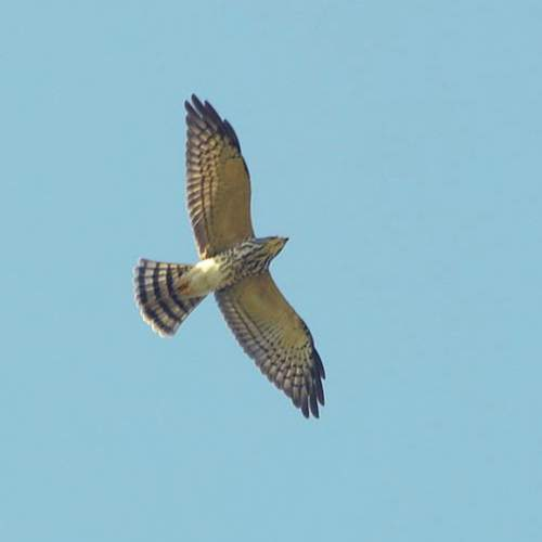 Indian birds - Image of - Chinese sparrowhawk - Accipiter soloensis
