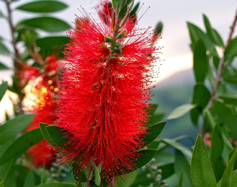 Espiga floral del callistemon
