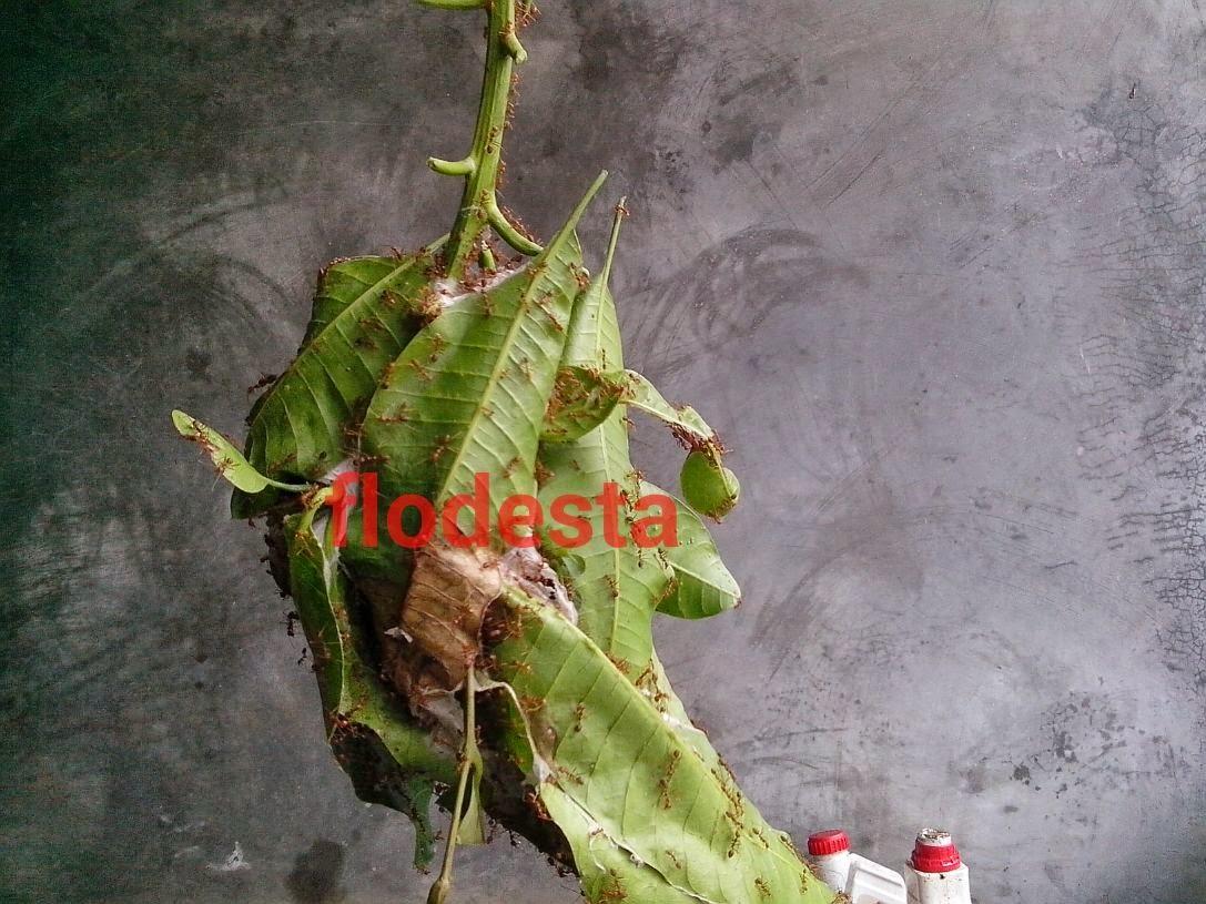 Cara Mengambil Sarang Semut Kroto Di Pohon