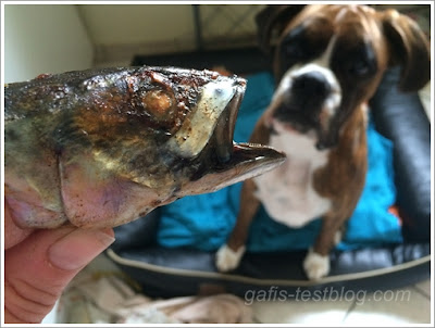 Boxer Amy und der Fischkopf