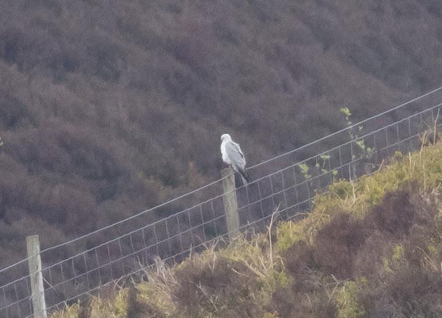 Pallid Harrier - Forest of Bowland, Lancashire