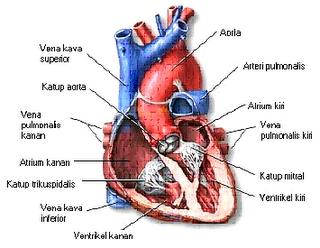 Bentuk Serta Ukuran Jantung