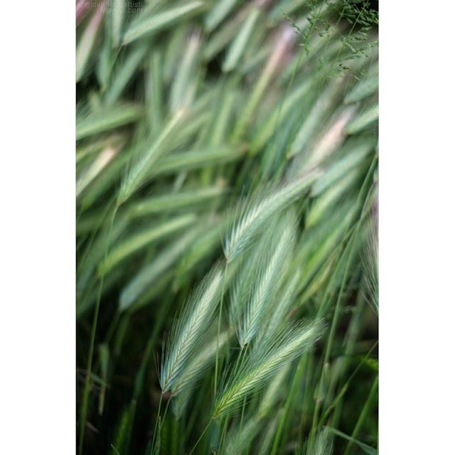 Fotografie di steli di erba con spighe