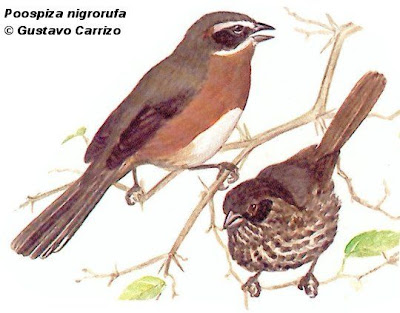 nido de Sietevestidos Poospiza nigrorufa