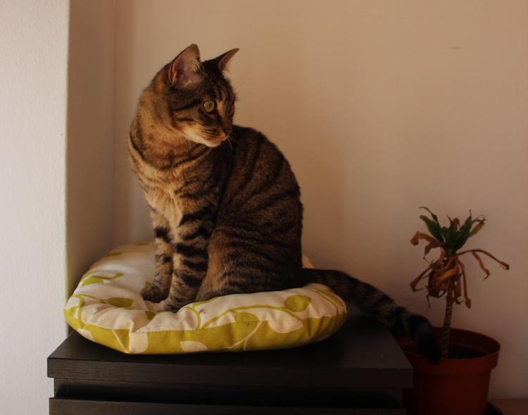 almofadas gatos