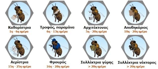Τι δουλειές κάνουν οι μέλισσες και σε ποιά ηλικία;