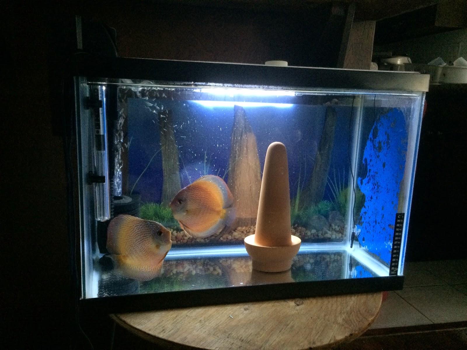 Discus Breeding Aquarium Size 1000 Ideas